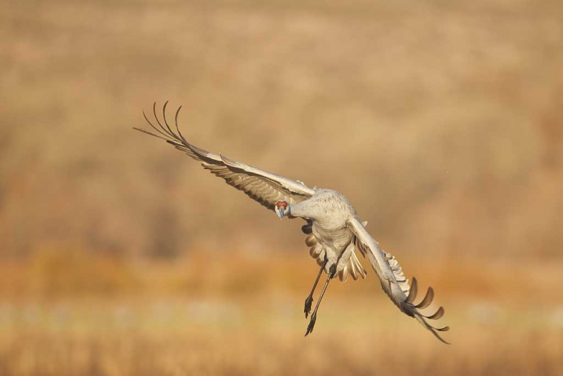 sandhill-crane-wheeling-in-flight-_y9c7693-bosque-del-apache-nwr-san-antonio-nm