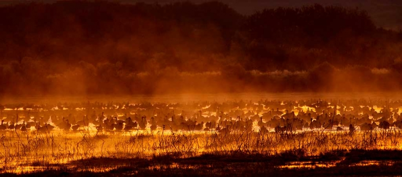 snow-geese-quasi-fire-in-the-mist-_w3c9363-bosque-del-apache-nwr-san-antonio-nm