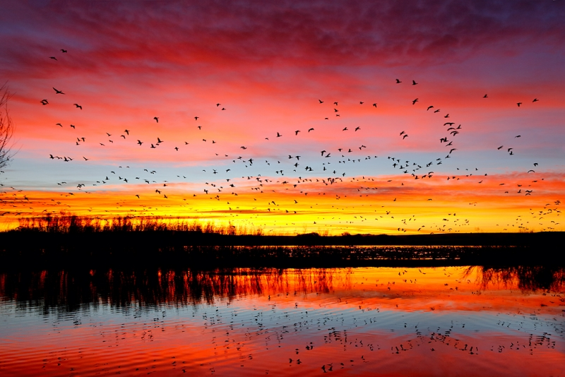 snow-geese-sunrise-fly-in-_w5c0984-bosque-del-apache-nwr-san-antonio-nm