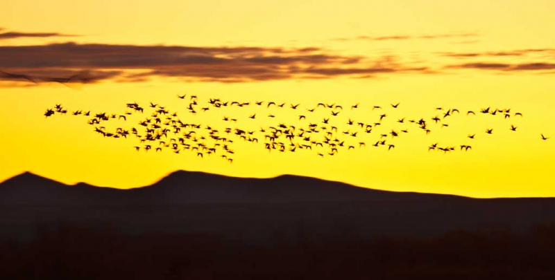 snow-goose-flock-above-ridge-at-sunrise-_w3c9801-bosque-del-apache-nwr-san-antonio-nm