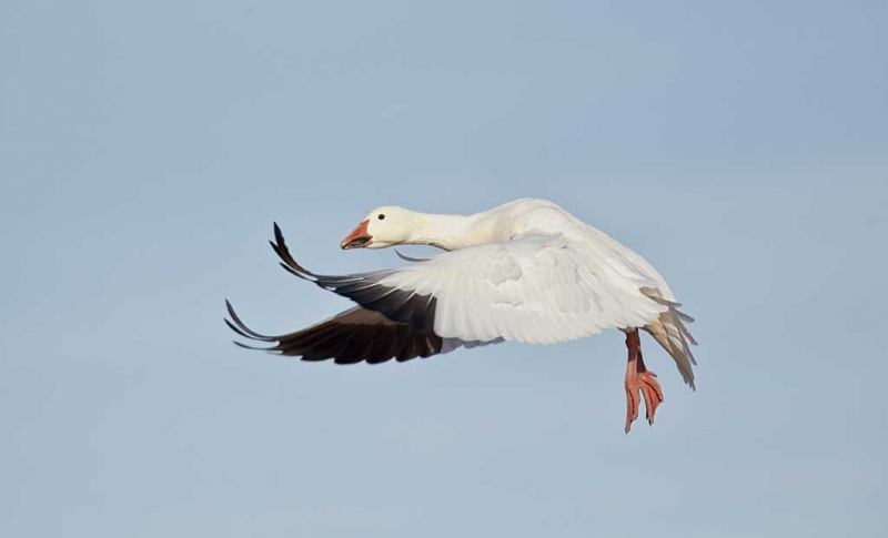 snow-goose-wings-forward-landing-flight-_w3c5127-bosque-del-apache-nwr-san-antonio-nm