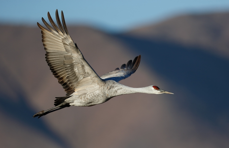 sandhill-crane-flight-dramatic-light-against-mountain-_09u2175-bosque-del-apache-nwr-san-antonio-nm