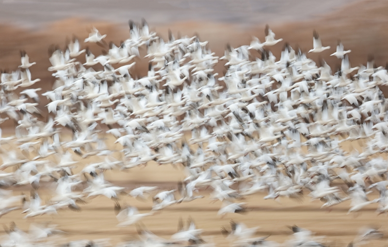 snow-geese-blast-farm-fields-_09u3420-bosque-del-apache-nwr-san-antonio-nm