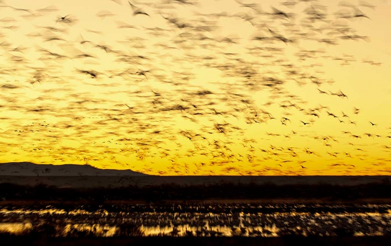 snow-geese-sunrise-fly-in-_w3c9480-bosque-del-apache-nwr-san-antonio-nm