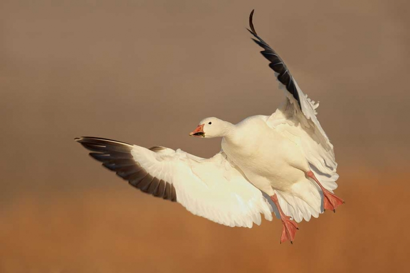 snow-goose-braking-to-land-_y9c7659-bosque-del-apache-nwr-san-antonio-nm