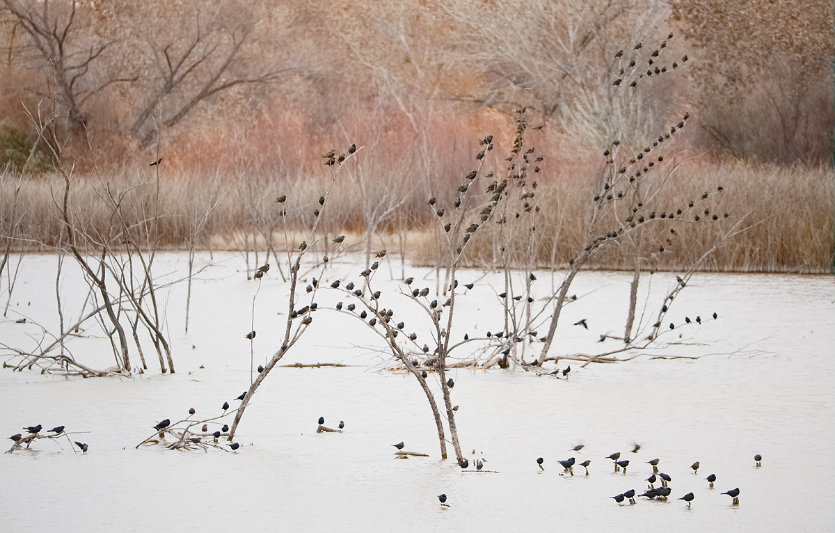 european-starlings-and-assorted-icterids-_y5o7762-bosque-del-apache-nwr-san-antonio-nm