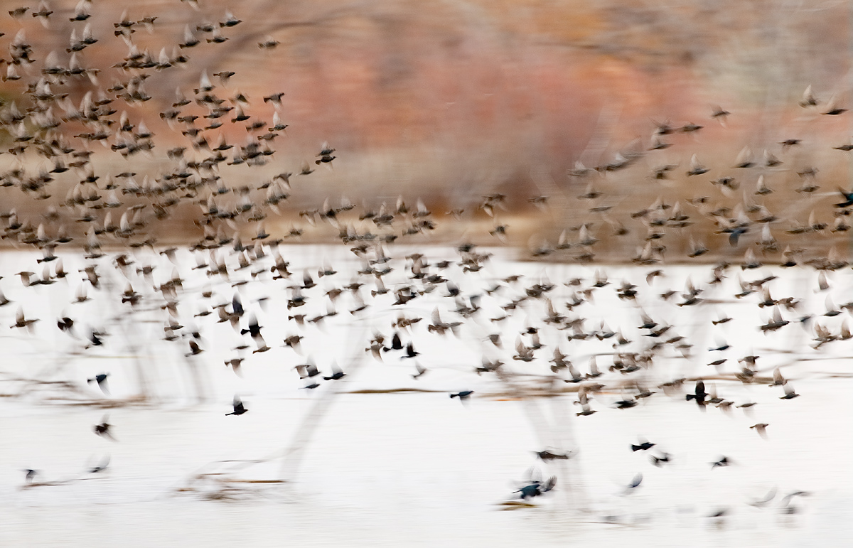 european-starlings-and-icterids-take-off-blur-_y5o7756-bosque-del-apache-nwr-san-antonio-nm