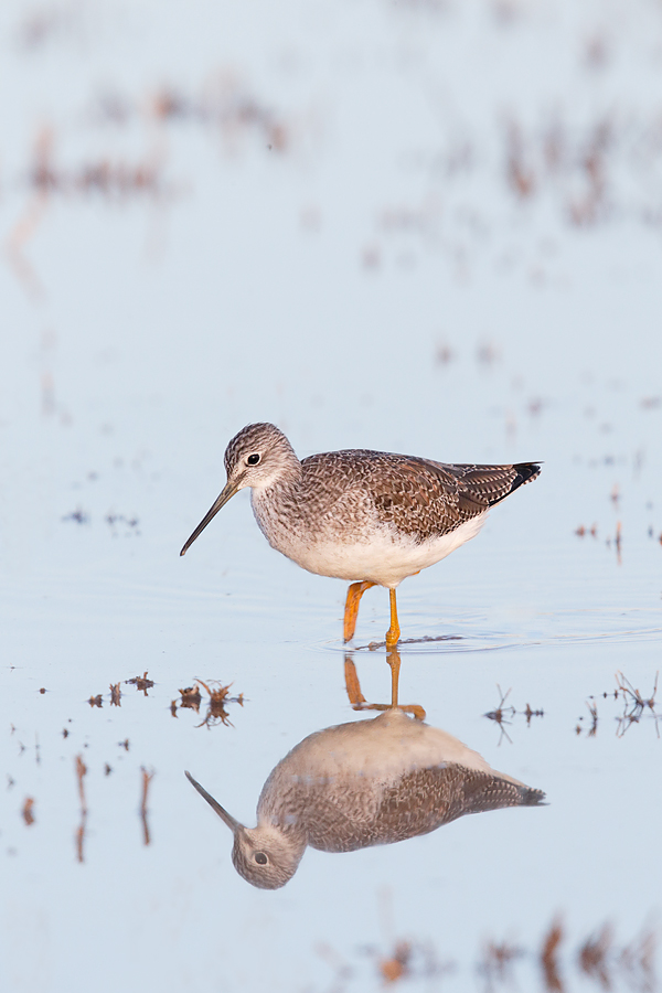 greater-yellowlegs-winter-plumage-_y7o1436-bosque-del-apache-nwr-san-antonio-nm