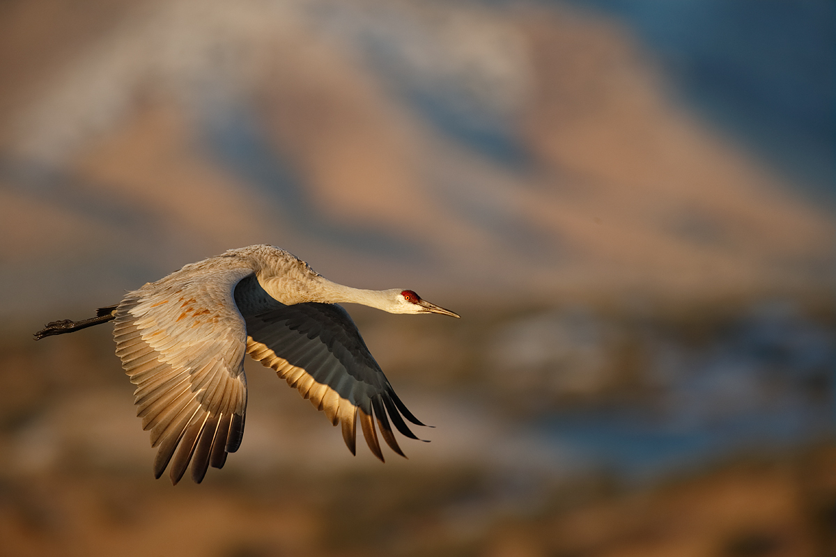 sandhill-crane-in-flight-eml-wings-down-_y5o8777-bosque-del-apache-nwr-san-antonio-nm