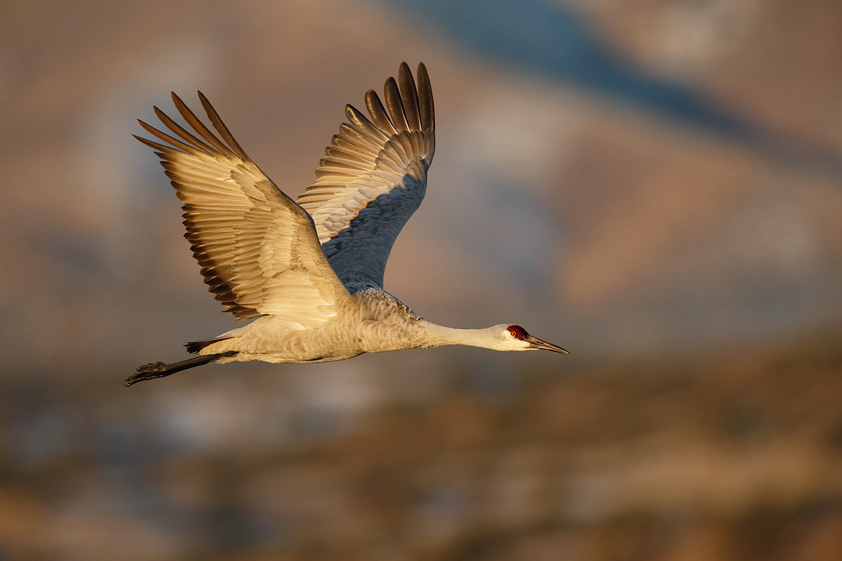 sandhill-crane-in-flight-eml-wings-up-_y5o8775-bosque-del-apache-nwr-san-antonio-nm
