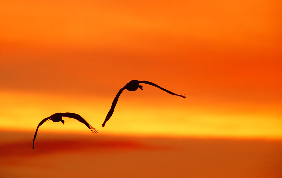 sandhill-crane-pair-in-flight-wheeling-silh-_y7o0994-bosque-del-apache-nwr-san-antonio-nm