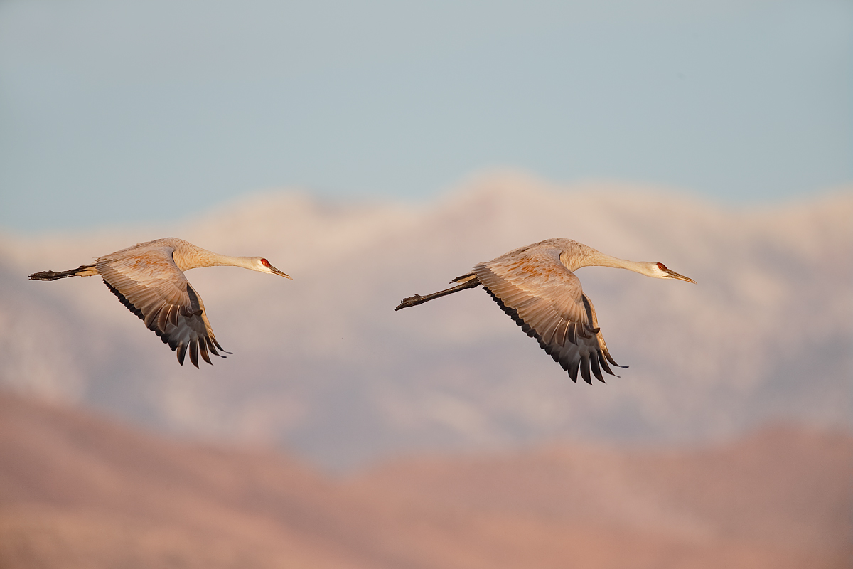 sandhill-crane-pair-in-flight-wings-down-_y5o9190-bosque-del-apache-nwr-san-antonio-nm