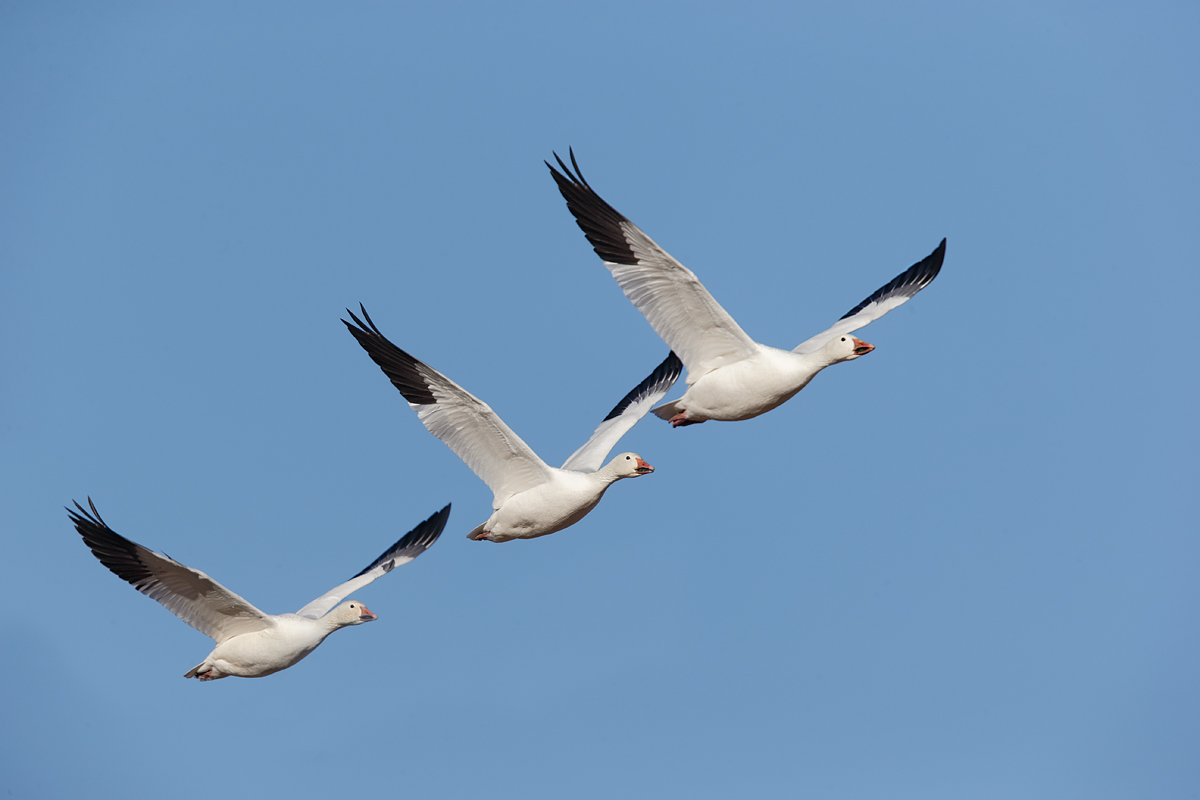 snow-geese-3-in-flight-_y7o1204-bosque-del-apache-nwr-san-antonio-nm