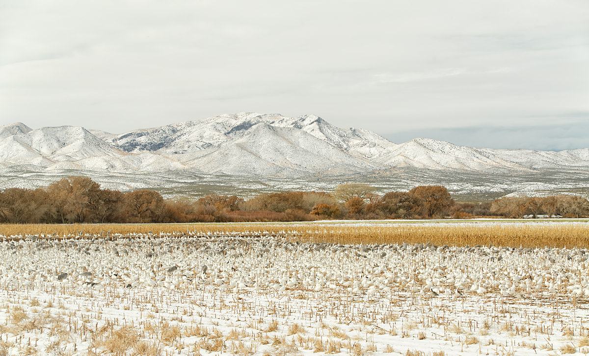 snow-geese-and-cranes-in-cornfield-in-snow-_a1c0075-bosque-del-apache-nwr-san-antonio-nm