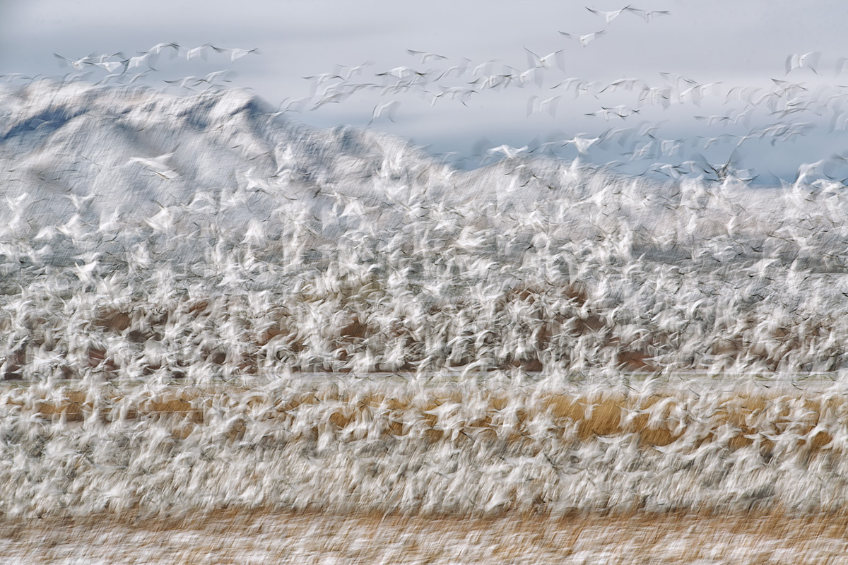 snow-geese-blast-off-180mm-at-13-sec-_a1c0056-bosque-del-apache-nwr-san-antonio-nm