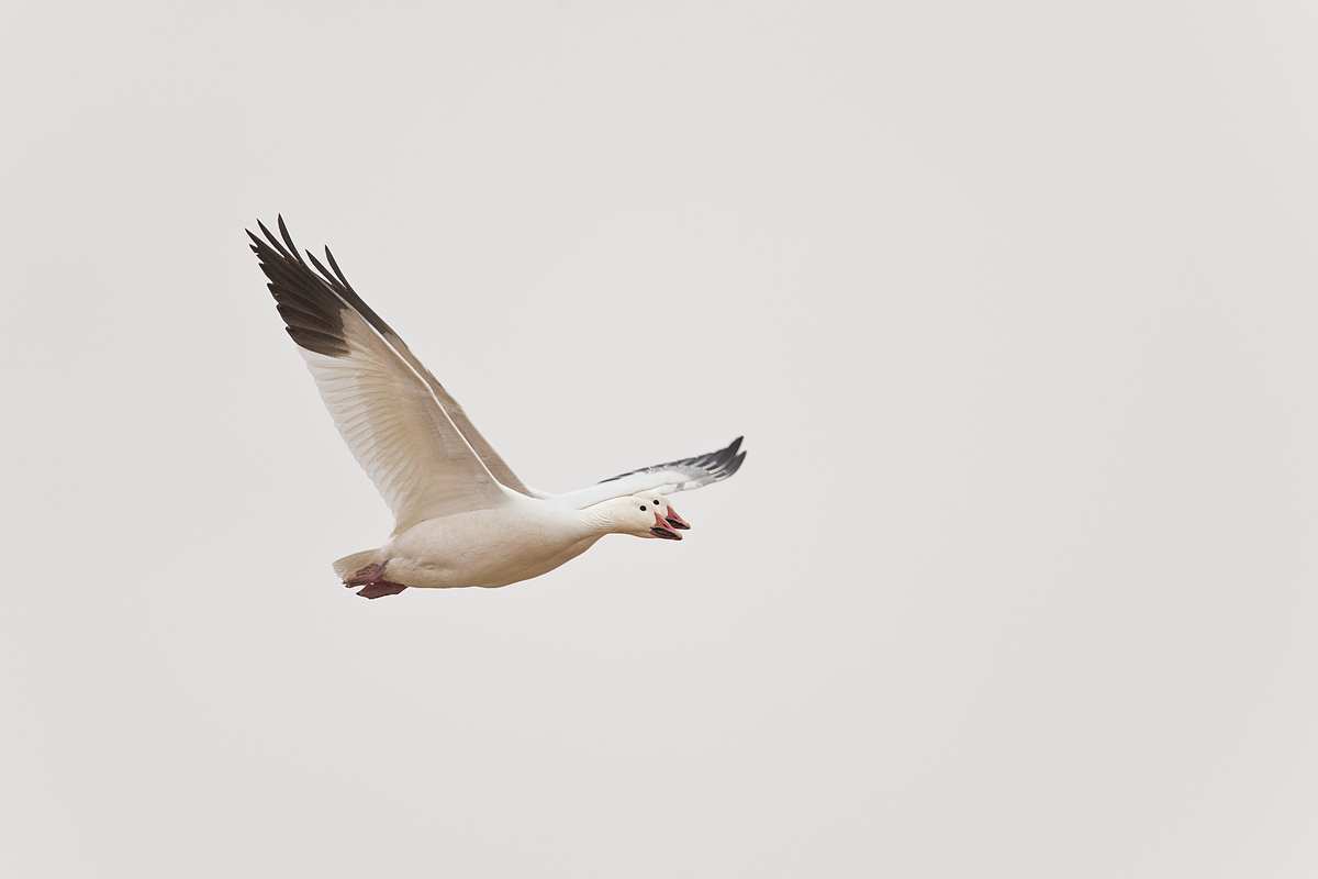 snow-geese-duo-in-flight-iso-3200-_y7o1163-bosque-del-apache-nwr-san-antonio-nm