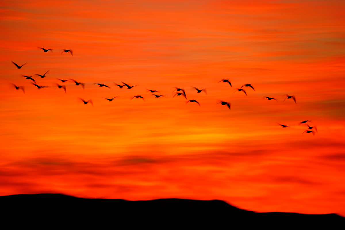 snow-geese-fly-in-through-red-sunrise-_y5o0790-bosque-del-apache-nwr-san-antonio-nm