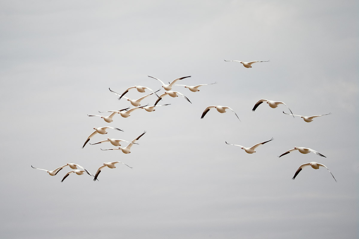 snow-geese-small-group-in-flight-_y5o7502-bosque-del-apache-nwr-san-antonio-nm