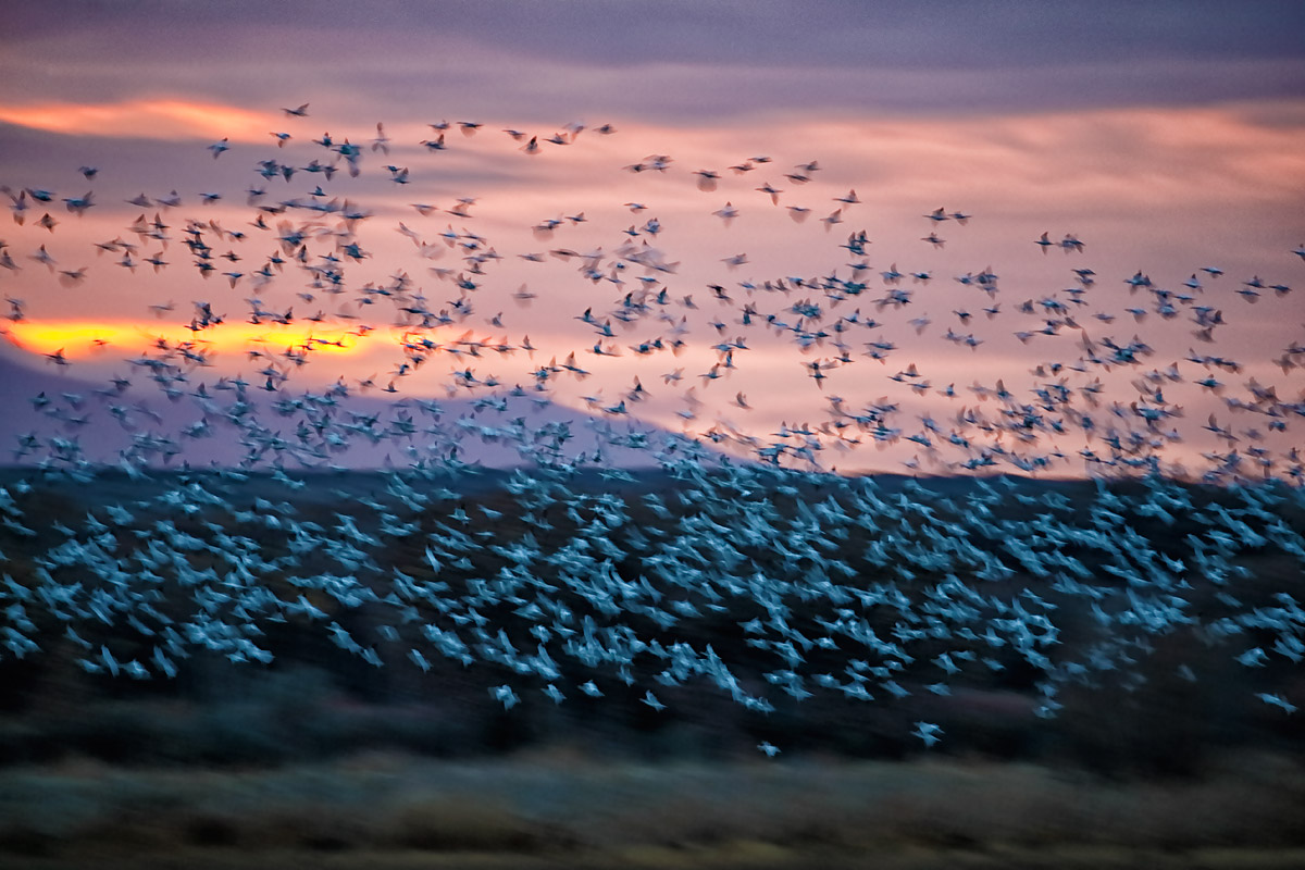 snow-goose-blast-off-200-400-at-560mm-_y5o7447-bosque-del-apache-nwr-san-antonio-nm