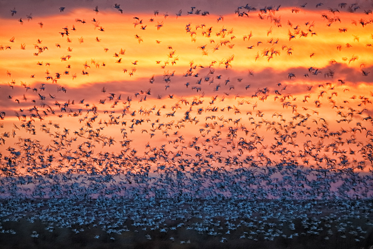 snow-goose-blast-off-w-200-400-at-436mm-_y5o7465-bosque-del-apache-nwr-san-antonio-nm