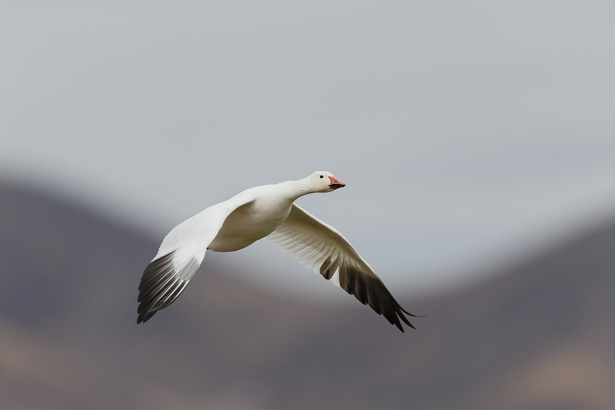 snow-goose-flight-on-cloudy-morning-_y5o7615-bosque-del-apache-nwr-san-antonio-nm