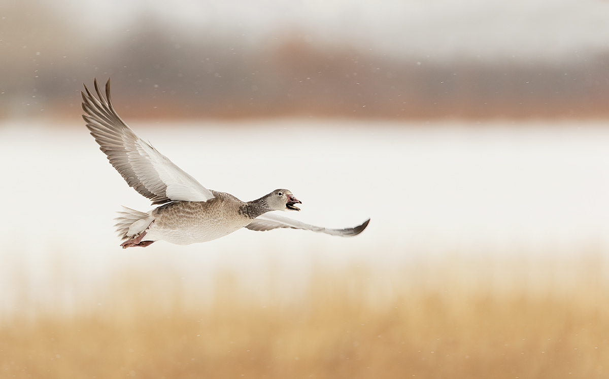 snow-goose-immature-calling-in-flight-in-snow-_y7o7953-bosque-del-apache-nwr-san-antonio-nm