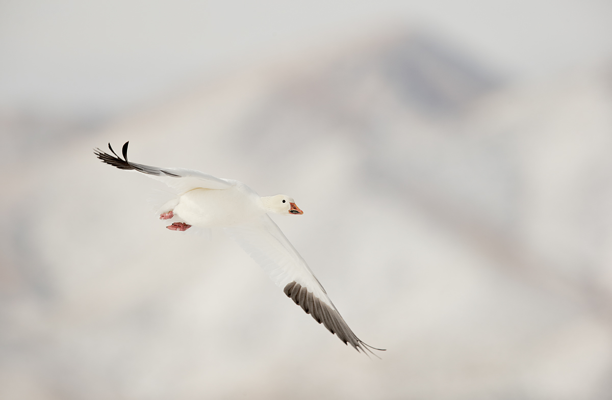 snow-goose-in-flight-on-snow-day-_y7o8107-bosque-del-apache-nwr-san-antonio-nm