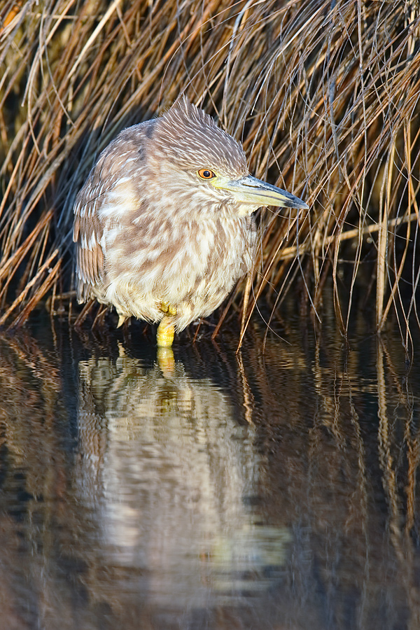 black-crowned-night-heron-immature-_y7o1569-westhampton-beach-long-island-ny