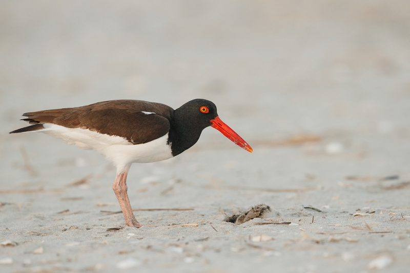 american-oystercatcher-finished-killing-chick-not-its-own-_q8r7737-nickerson-beach-park-lido-beach-ny