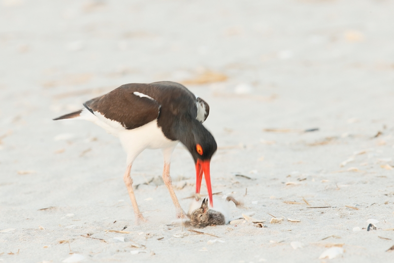 american-oystercatcher-killing-chick-not-its-own-_q8r7687-nickerson-beach-park-lido-beach-ny