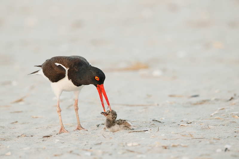 american-oystercatcher-killing-chick-not-its-own-_q8r7695-nickerson-beach-park-lido-beach-ny