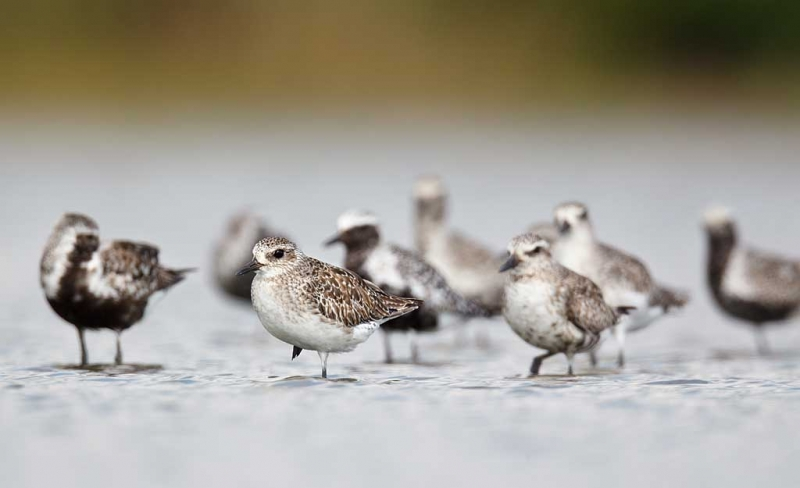 black-bellied-plovers-in-various-stages-of-molt-_w3c5334-east-pond-jamaica-bay-wildlife-refuge-queens-ny
