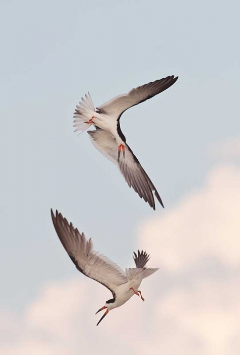 black-skimmer-aerial-battle-_a1c7440-nickerson-beach-long-island-ny