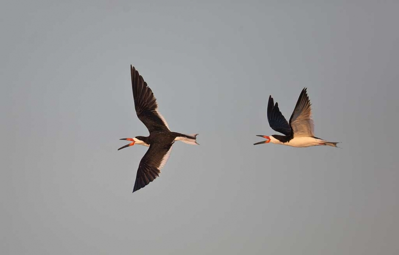 black-skimmer-aerial-chase-_a1c7673-nickerson-beach-long-island-ny