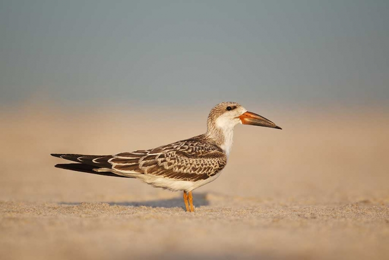 black-skimmer-fresh-juvenal-plumage-on-beach-_w3c7258-nickerson-beach-long-island-ny