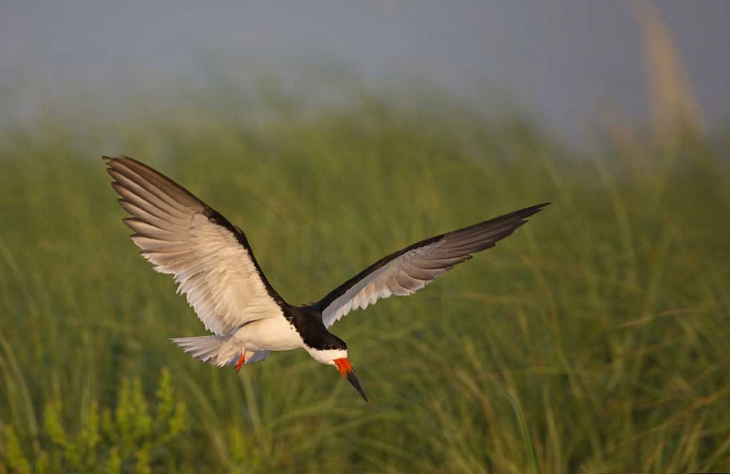 black-skimmer-landing-impr-comp-_a1c7630-nickerson-beach-long-island-ny