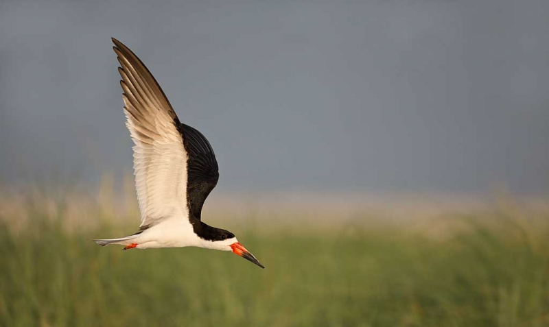 black-skimmer-over-beach-grasses-_a1c7605-nickerson-beach-long-island-ny_0