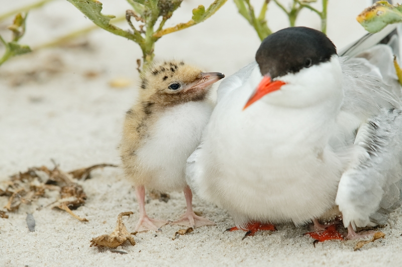common-tern-chick-looking-at-adult-_q8r3866-nickerson-beach-long-island-ny