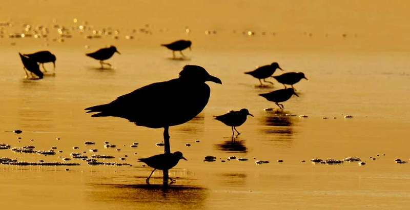 herring-gull-and-sanderlings-7-23am-silh-_y9c3027-nickerson-beach-long-island-ny