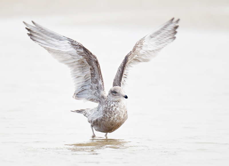 herring-gull-bpn-flapping-after-bath-_y9c2931-nickerson-beach-long-island-ny-copy