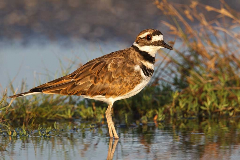 killdeer-in-rain-puddle-nik-tc-_w3c7698-hecksher-state-park-long-island-ny