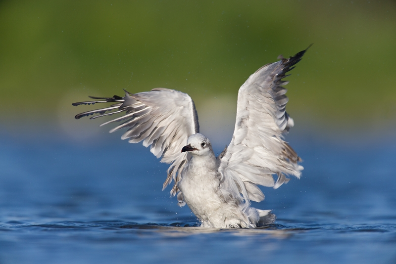 laughing-gull-flapping-after-bath-_q8r0398-east-pond-jamaica-bay-wildlife-refuge-queens-ny