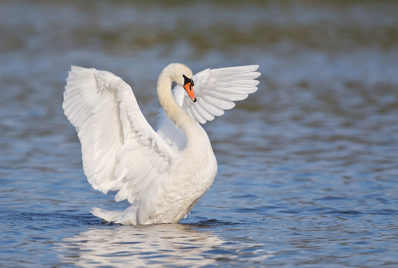 mute-swan-flapping-adult-robt_w3c2788-east-pond-jamaica-bay-wildlife-refuge-queens-ny