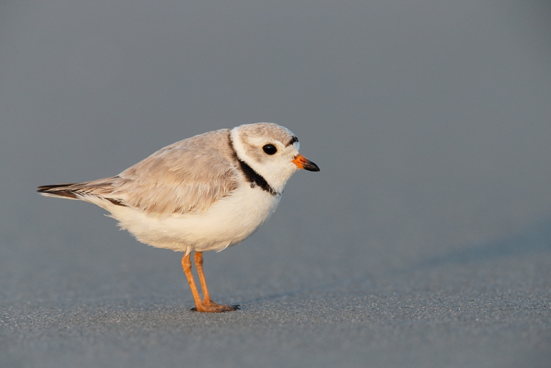 piping-plover-male-_q8r7660-nickerson-beach-park-lido-beach-ny