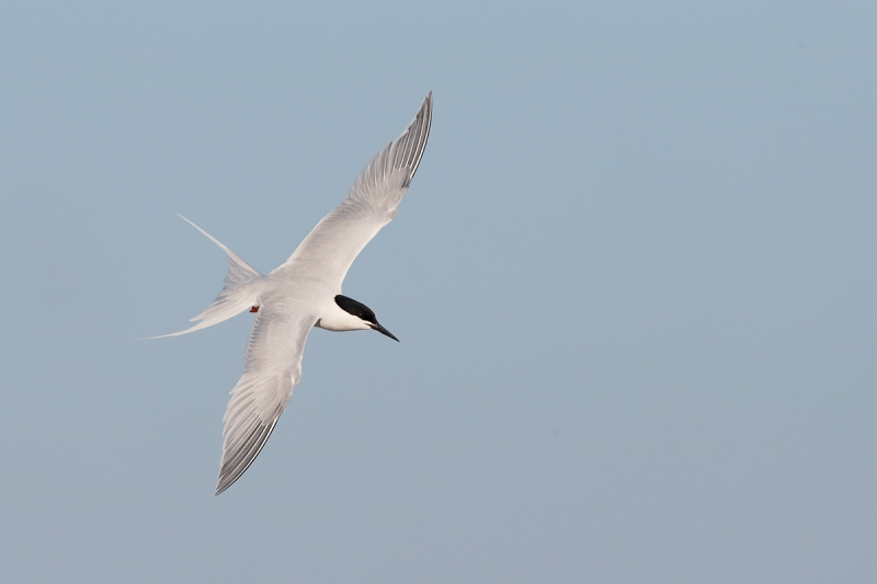 roseate-tern-flight-dorsal-view-_q8r9187-great-gull-island-project-new-york