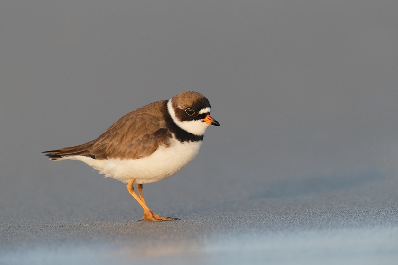 semipalmated-plover-breeding-plumage-_q8r7636-nickerson-beach-park-lido-beach-ny