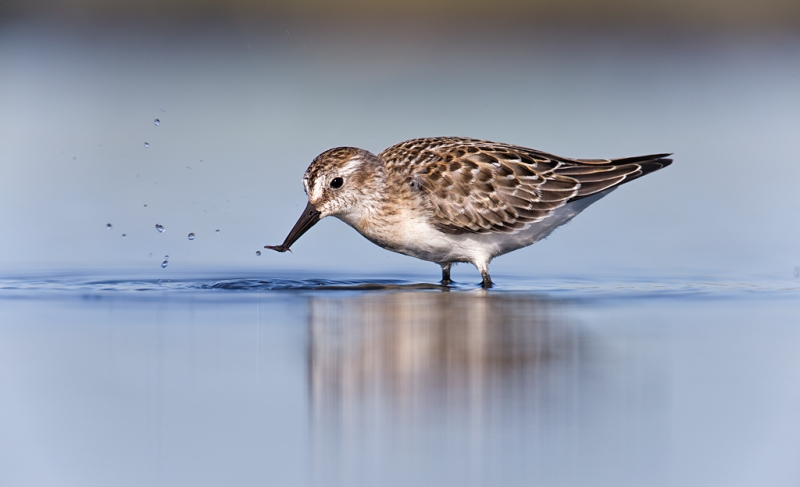 semipalmated-sandpiper-juvenile-with-invertebrate-prey-item-_q8r1414-hecksher-state-park-long-island-ny
