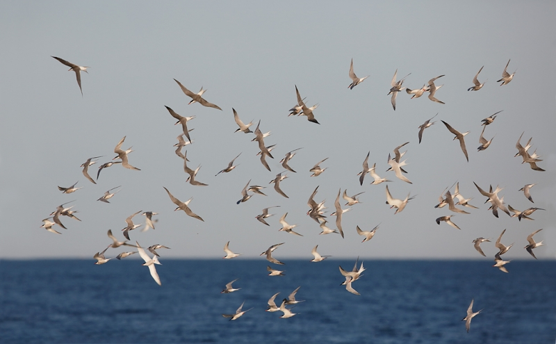 tern-flock-wheeling-over-ocean-commons-and-roseates-_a1c7083-great-gull-island-project-new-york