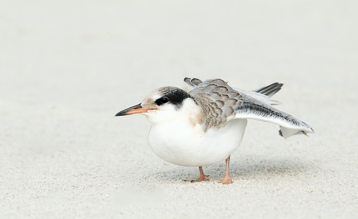 common-tern-chick-wing-stretch-_09u9118-nickerson-beach-long-island-ny