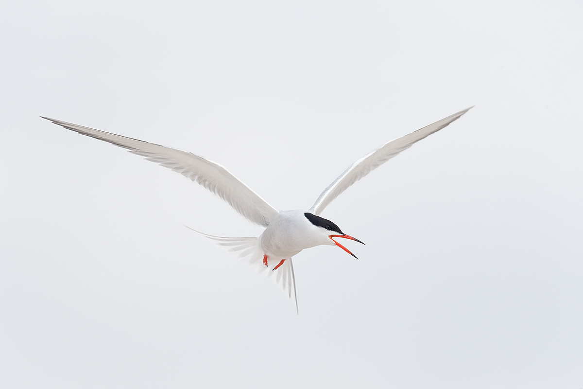 common-tern-in-flight-_q8r7066-nickerson-beach-park-lido-beach-ny